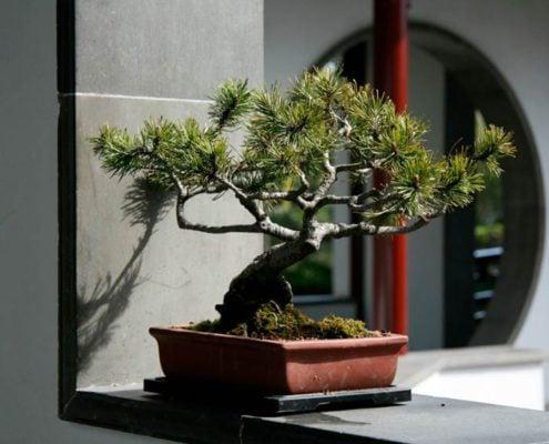 дерево-бонсай-в-интерьере